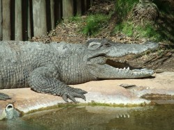 We fell in love with this 'laughing' crocodile